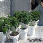 Police Bust Weed Growing Operation on CH Rooftop