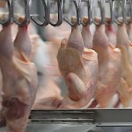 Kosher Chickens Found to Have Higher Levels of Antibiotic-Resistant Bacteria