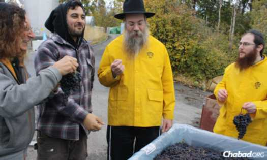 The best grapes of the 2012 vintage were used to make organic kosher wine in Kelowna, British Columbia. Examining the grapes are from left, Stephen Cipes, Ari Cipes, Rabbi Levy Teitlebaum and Rabbi Shmuel Hecht.