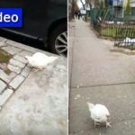 Video: Chicken Wanders Around Eastern Parkway